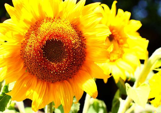 Подсолнух- золотой цветок